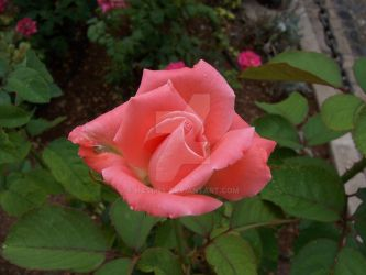 A Rose by Hasdiel