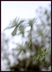 clematis by willowleaf