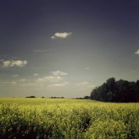 blooming yellow fields by friday-forever