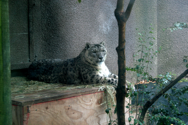 My moment with a Snow Leopard by Crackoala