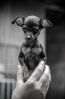Juana the mini-Pinscher by jeyk-O