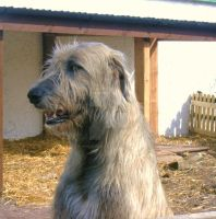 Irish Wolfhound by Impenetrable