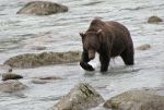 DSC03324ps 'Speedy' 5yr. old Grizzly Bear fishing by VIRGOLINEDANCER1