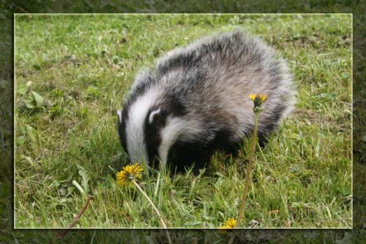 Lonely badger by lisstuppa