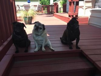 Pugs 3 by Sleuth92