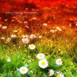 Daisies by ironicna
