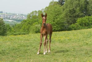 Curious Warmblood Foal Standing - Stock by LuDa-Stock