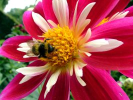 .stock: dahlia and the bee. by guavon-stock