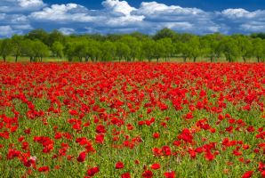 Red Poppies by Meenigma