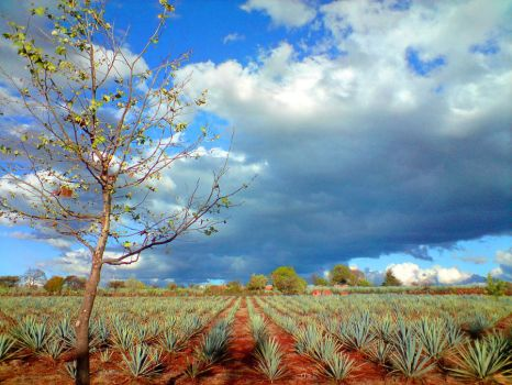 Agave Field by Darellos