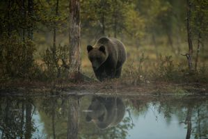 Brown bear reflection by PurpleShallots