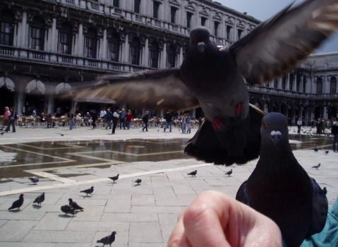 Pigeons in Venice by denyamber