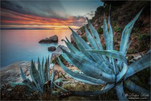 Agave by Lidija-Lolic