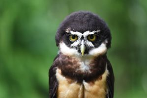 Spectacled Owl by KrisVlad
