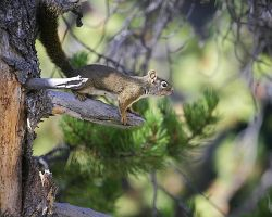 Yellowstone Red Squirrel by swashbuckler
