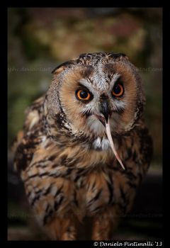 Owl: Lunch II by TVD-Photography