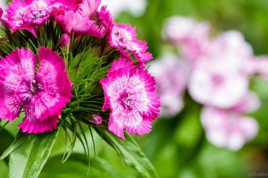 Dianthus by cshake