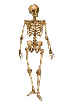 Human Skeleton 12029879 by StockProject1
