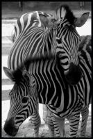 zebra: Ill always protect you by morho