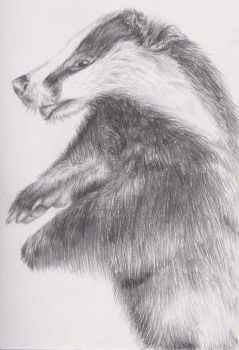 Badger Study by Helena998