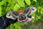 Cecropia Moth - Allegany State Park by Kyle-Lefort