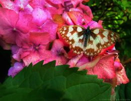 Butterfly on pink flowers by Rdzeniuch