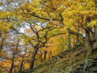 Gnarly oak on a slope. autumn colors - by zeitspuren