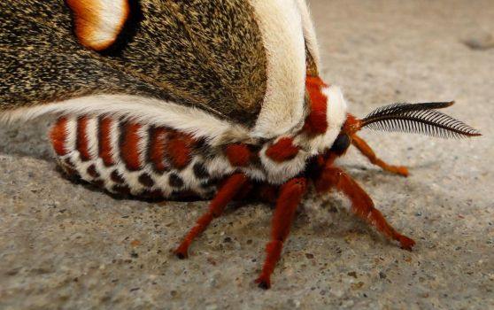 Cecropia Moth Close-Up by yarrpiracy