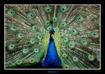 Peacock by grugster