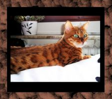 bengal cat shakira by kitsune89
