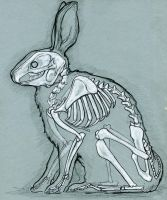 Rabbit anatomy by bigredsharks