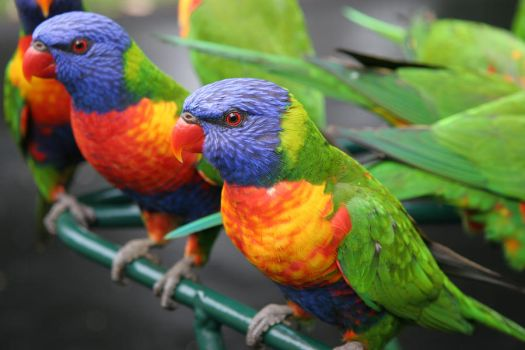Rainbow Lorikeets. by Firey-Sunset