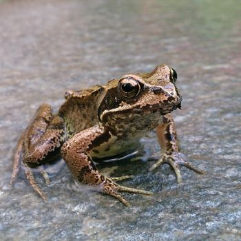 frog by msneep