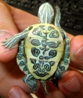 little turtle by saeeda