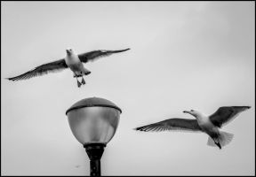 Light gulls by friartuck40