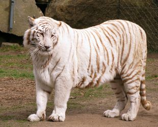 White Tiger Stock 4 by HOTNStock