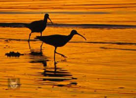 Curlews Hunting At Sunset by wolfwings1