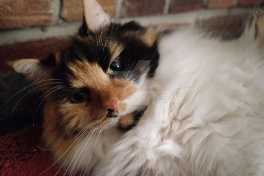Calico Cat Posing or Annoyed by Charlief43