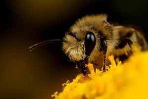 Small Bee 5 by Alliec