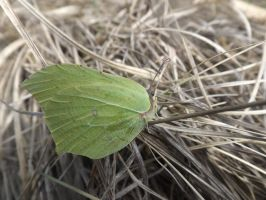 Female Brimstone by mossagateturtle