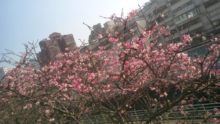 Cherry Tree Blossoms at Tonghu by ThomasAnime