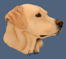 Yellow Lab by Alley96