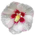 Hibiscus PNG by Bunny-with-Camera