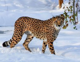 Cheetah in the Snow by IllusoryCalm