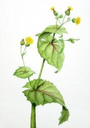 Sow thistle - Sonchus oleraceus v1 by l-Zoopy-l