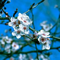 This time of the year I always remember Spring... by WhiteBook