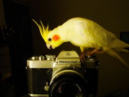 Take a Picture Cockatiel by nacion33