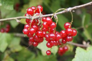 Close-Up Currant Berries by Kitty1205