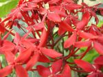 West Indian Jasmine by pueng2311