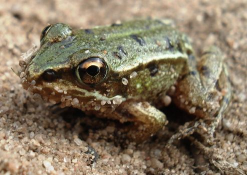 Froggy close-up by AspendingKills